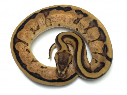 Baby Calico Genetic Stripe Ball Pythons