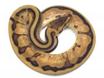 Baby Calico Genetic Stripe Ball Pythons