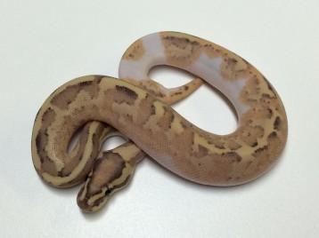 Baby Mojave Amoretti Ball Python