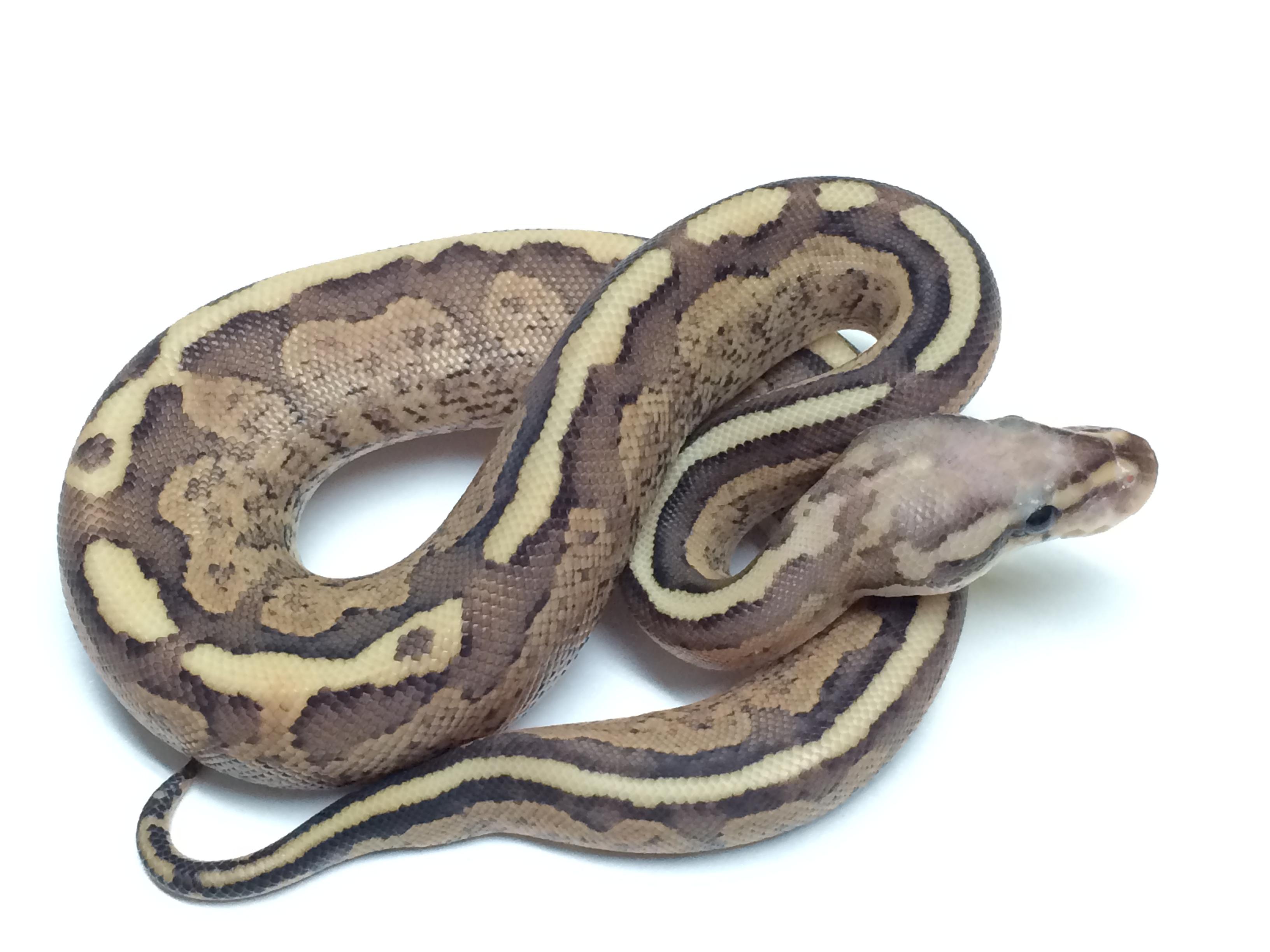 Baby Cinnamon Amoretti Ball Python