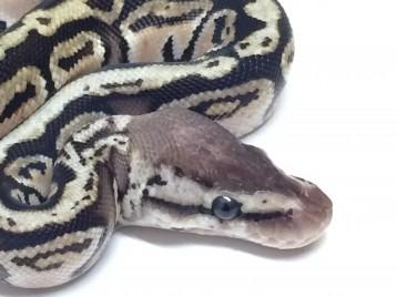 Baby Pastel Hidden Gene Woma Ball Python