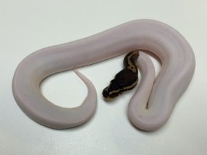 Baby Het Red Axanthic Pied Ball Python