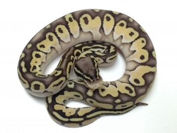 Baby Citrus Butter Desert Ball Python