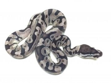 Baby Enchi VPI Axanthic Ball Python