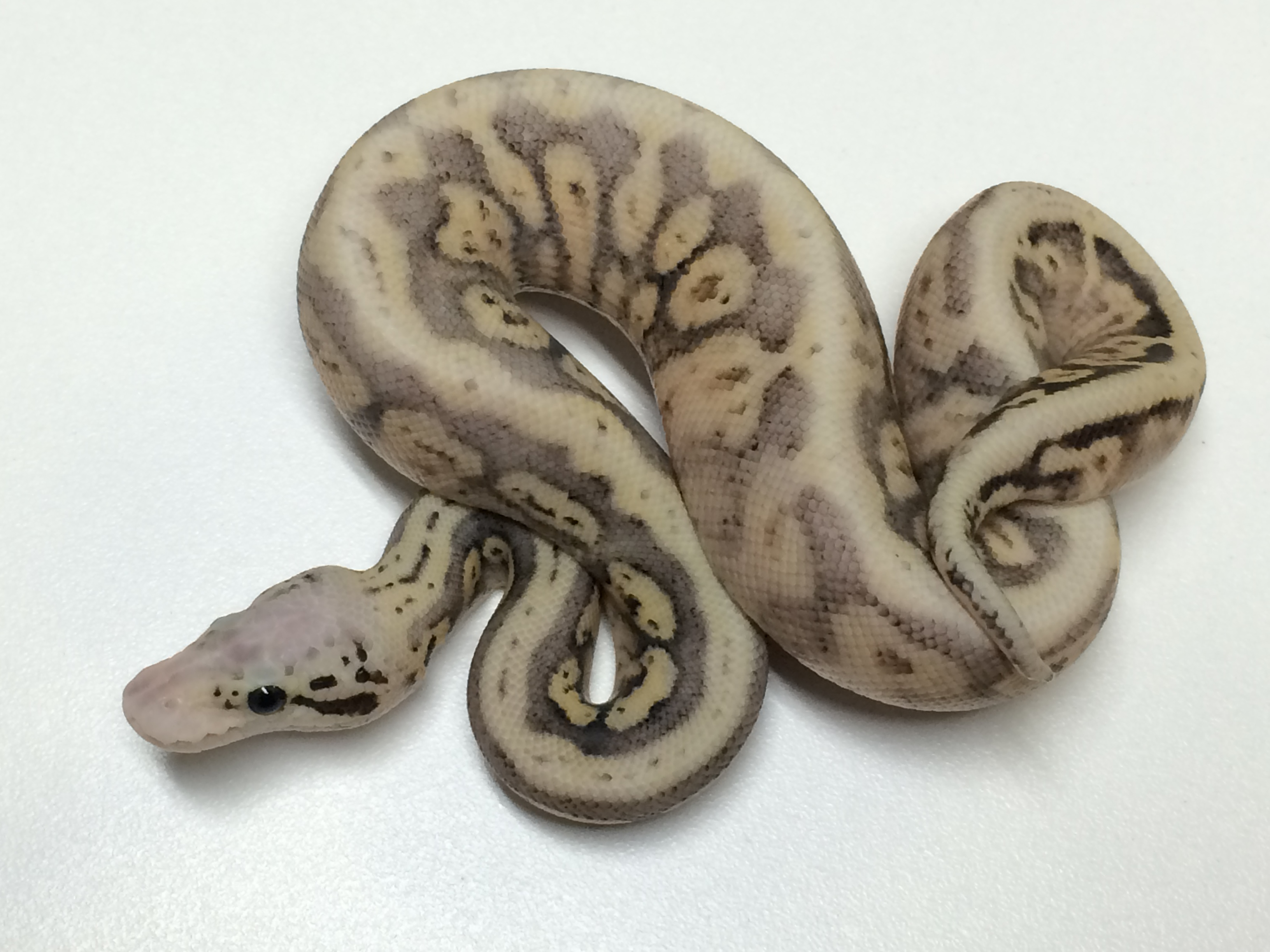 Baby Ultimate Ball Python