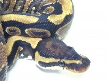 Baby Yellowbelly Ball Python