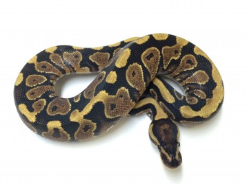 Baby Yellowbelly Ball Python