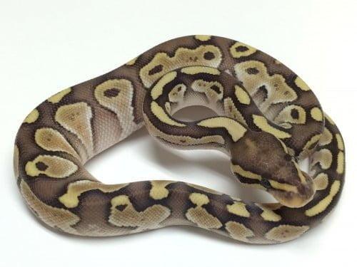 Baby Lesser Ball Python