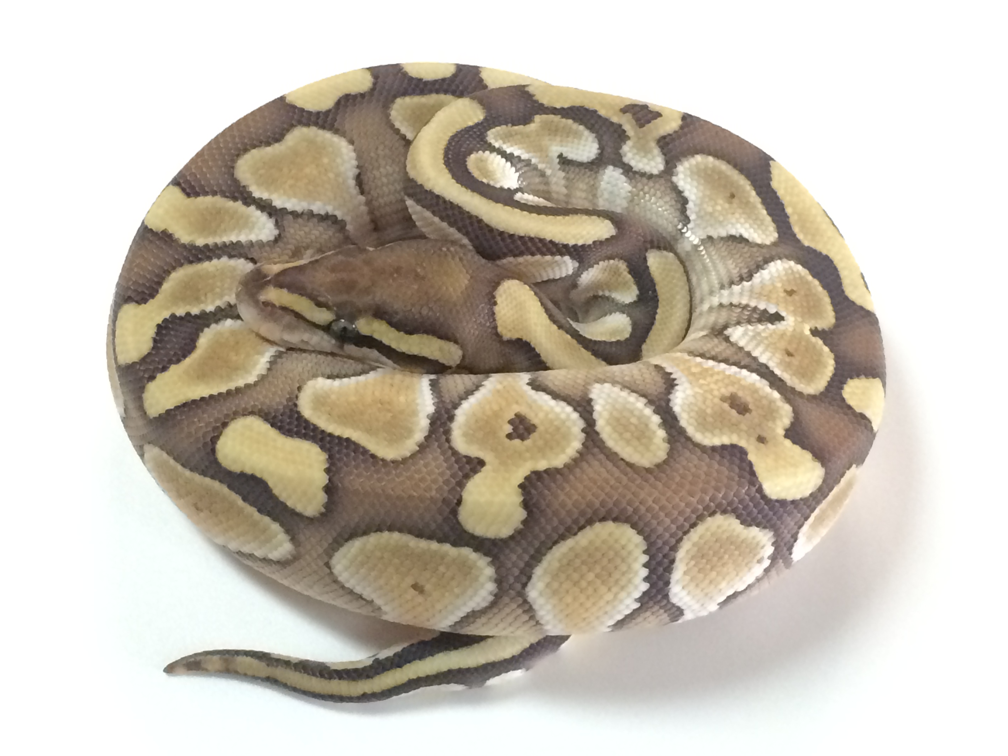 Butter Ball Python For Sale - xyzReptiles