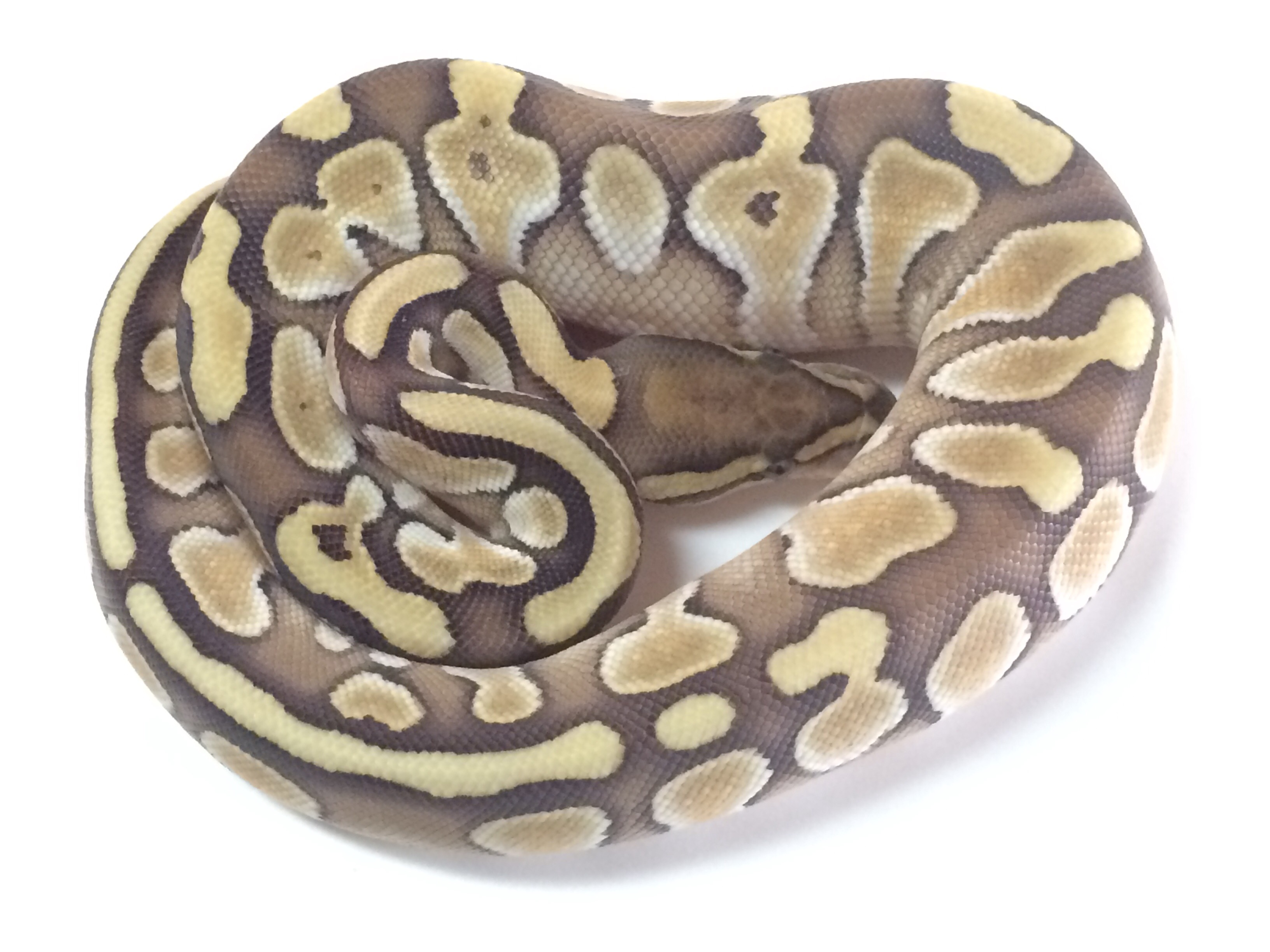 Baby Butter Ball Python