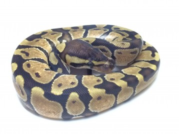 Baby Enchi Ball Python