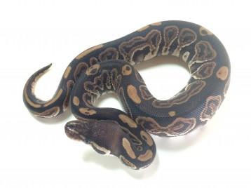 Baby Black Pastel Ball Python