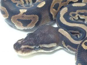 Baby Cinnamon Ball Python