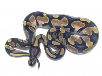 Baby Calico Ball Python