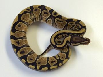 Baby Spark Ball Python