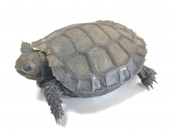 Baby Burmese Mountain Tortoise
