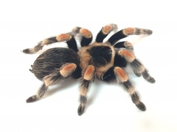 Mexican Red Knee Tarantula for Sale