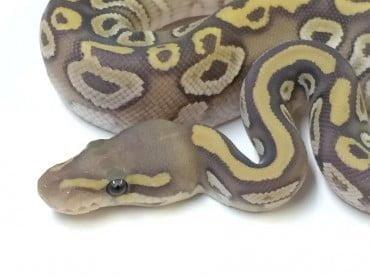 Mojave Ghost Ball Python