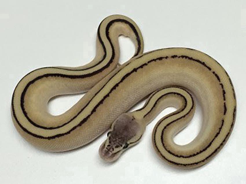 baby pastel butter genetic stripe ball python