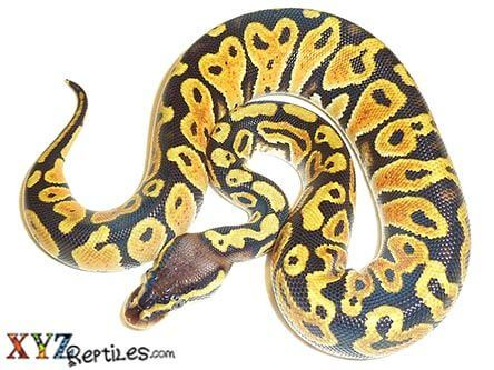 Pastel Ball Python For Sale Xyzreptiles
