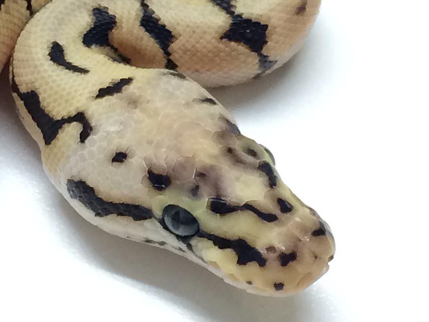python Adult spider ball