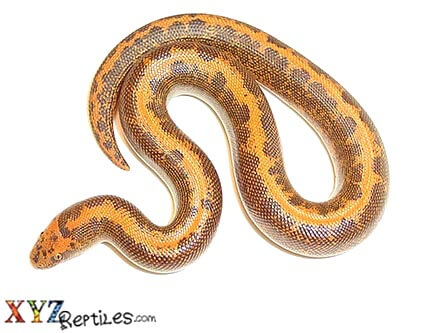 striped Kenyan sand boa