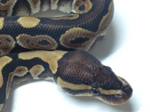 Baby Russo Ball Python