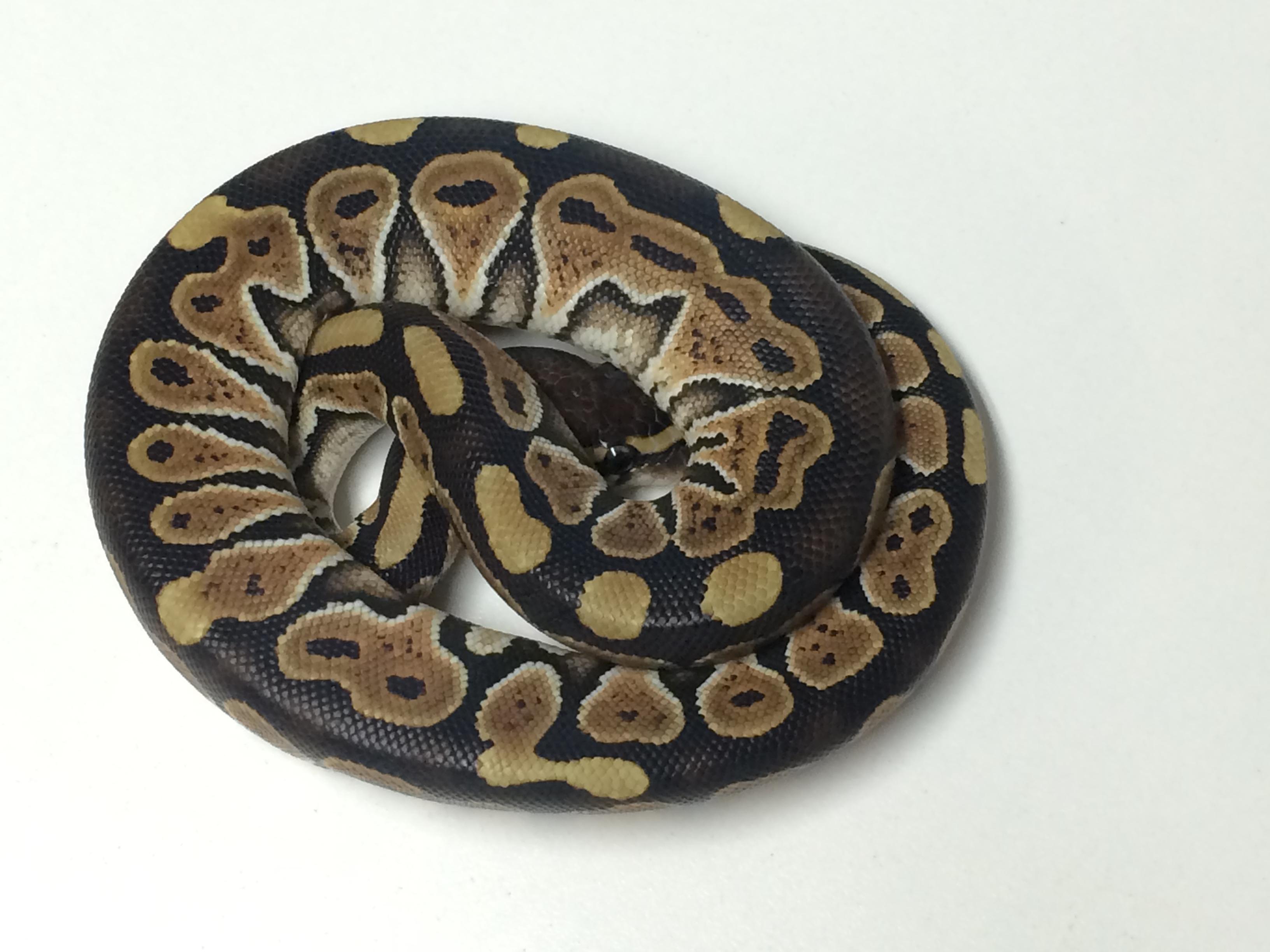 Baby Russo Ball Python