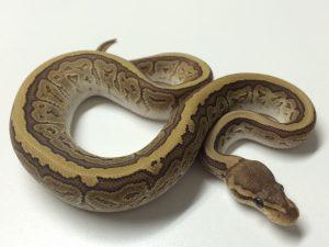 Baby Jigsaw Ball Python