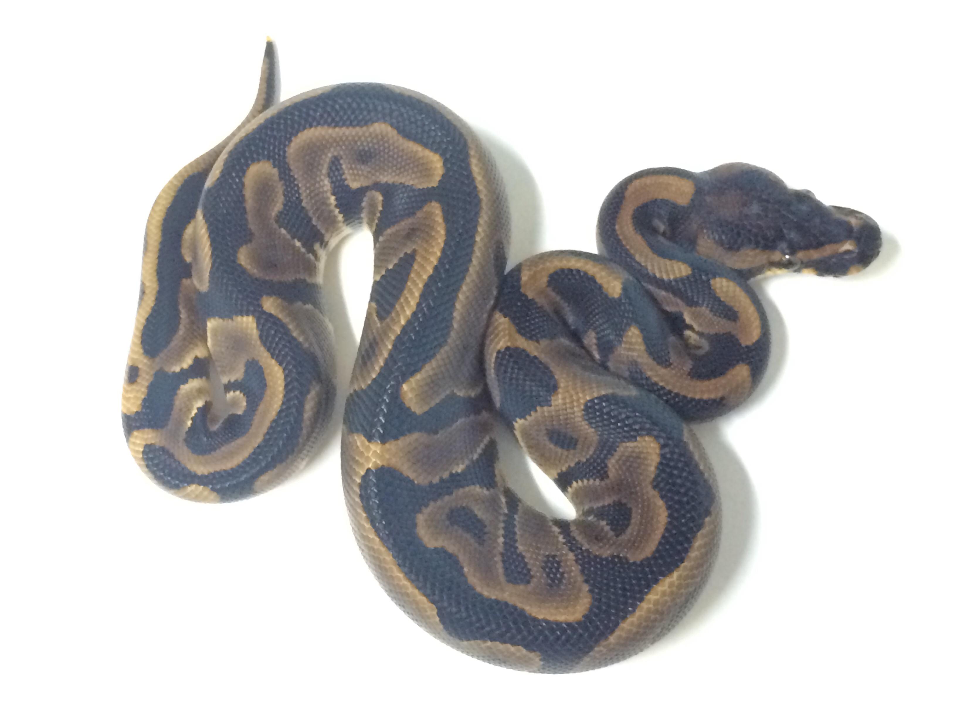 Baby Leopard Ball Python