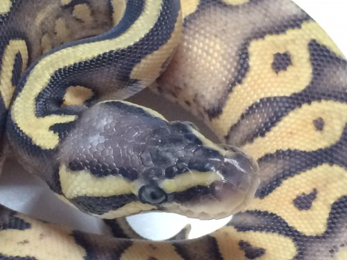 Baby Super Pastel Yellowbelly Ball Python