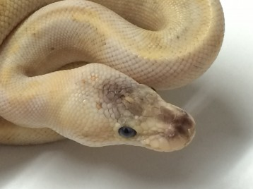 Baby Pastel Champagne Ball Python