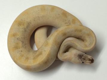 Baby Pastel Champagne Ball Python