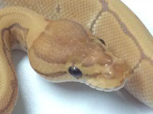 Baby Pinstripe Ultramel Ball Python