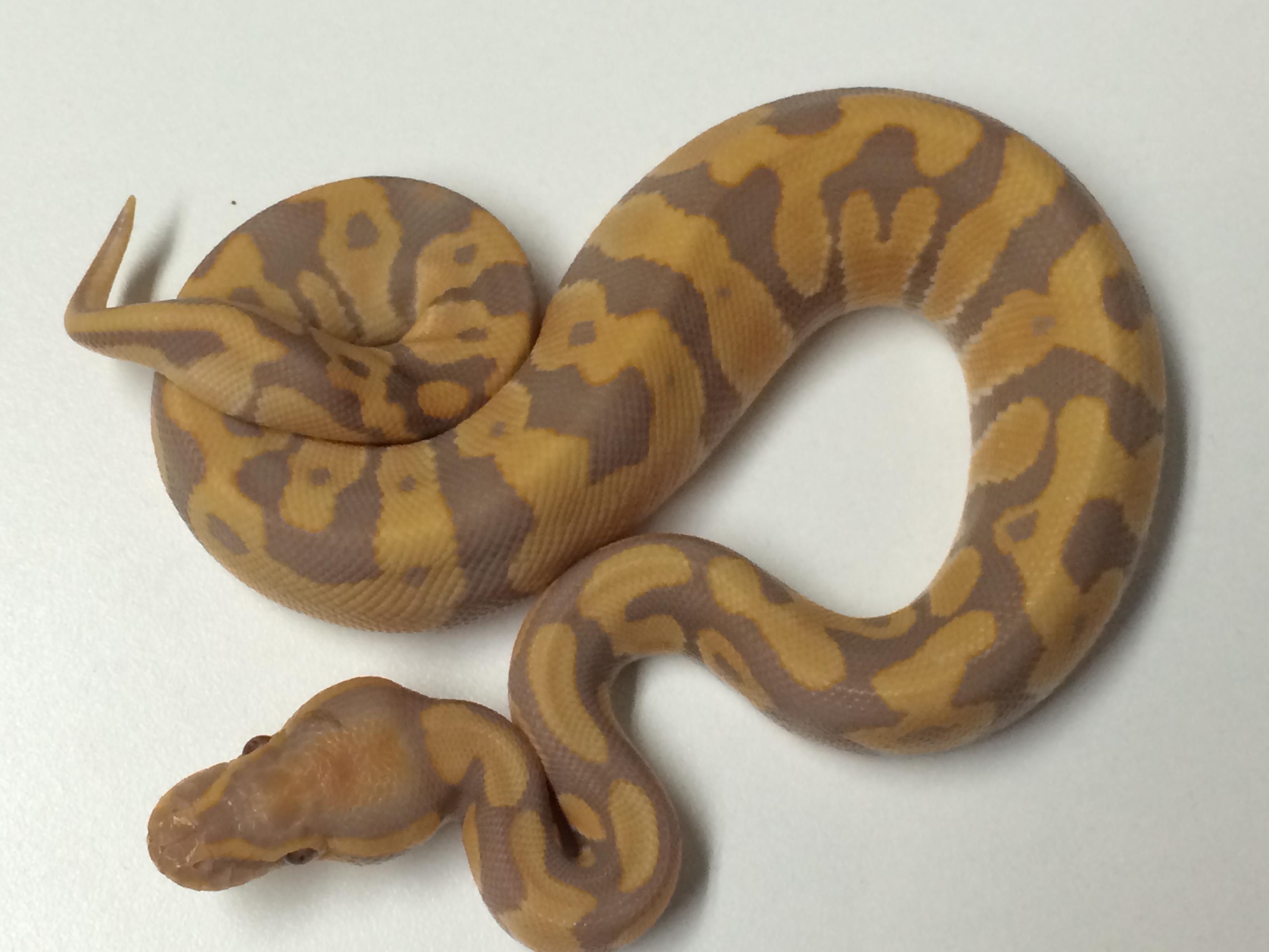 Baby Camarillo Ball Python