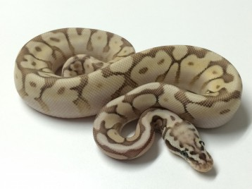Baby Queenbee Ball Python