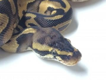 Baby Pastel Leopard Ball Python