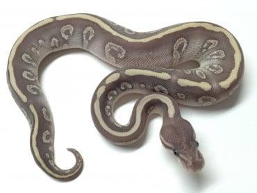 baby super mystic ball python