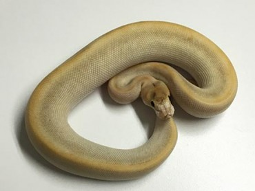 Baby Champagne Lesser Ball Python