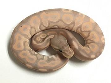 Baby Cinnamon Banana Ball Python