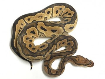 Baby Clown Ball Python