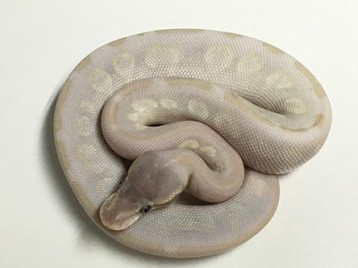Baby Invisiball Ball Python
