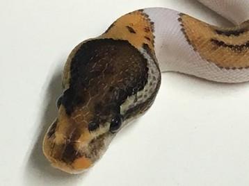 Baby Pinto Pied Ball Python