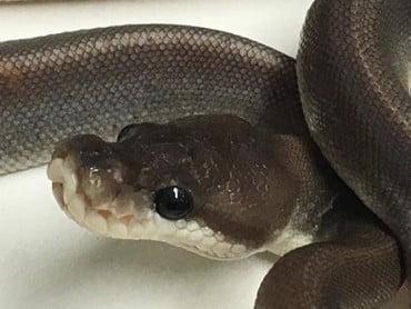 Baby Super Cinnamon Ball Python