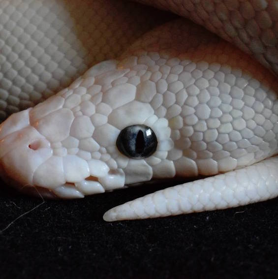 The Leucistic Ball Python Is More Than Just A White Snake