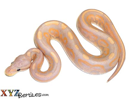baby cinnamon banana ball python for sale