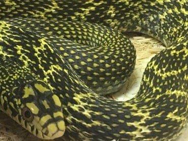 Asian Rat Snake