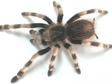Brazilian Black and White Tarantula for Sale