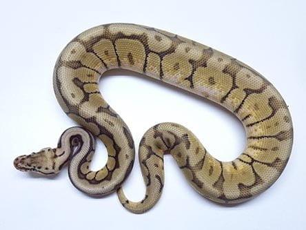 Bumblebee Mocha ball python