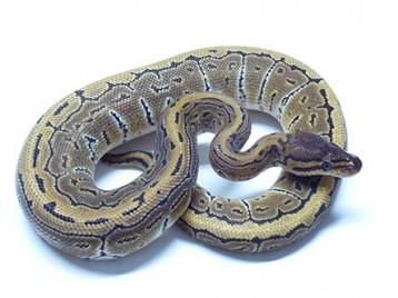 Baby Mocha Pinstripe Ball Python